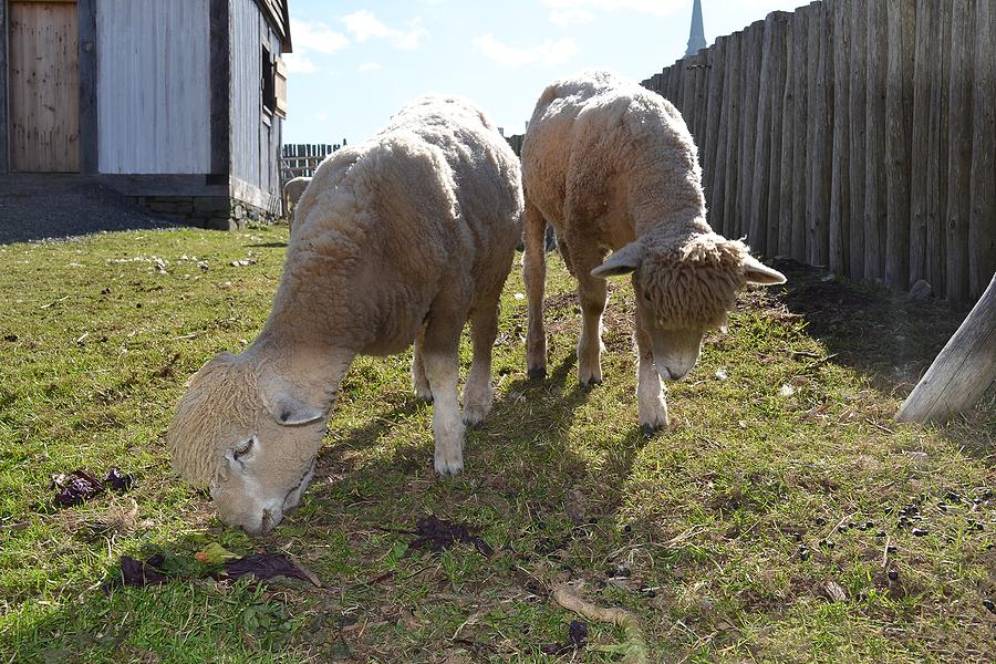 Two sheep grazing in a sheep yard